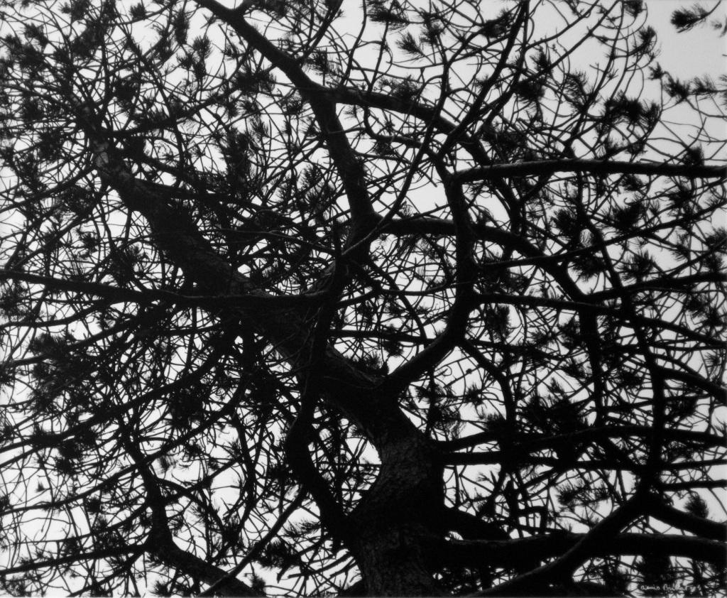 Le pin d'Irlande, 1997. Tirage gravure photographique. 40 x 50 cm